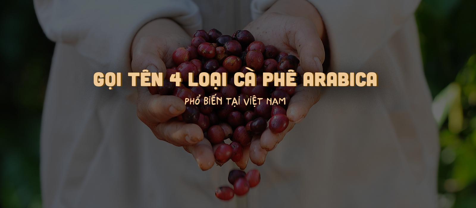 gọi tên 4 loại cà phê Arabica phổ biến tại Việt Nam